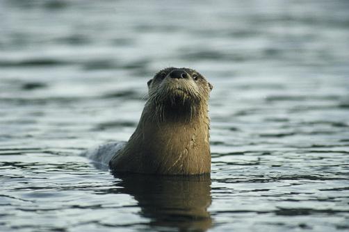 river_otter2_502