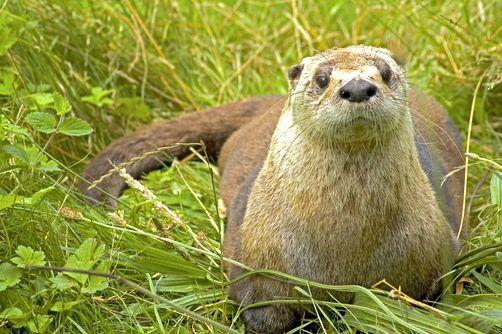 river_otter_502